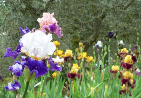 iris garden in Florence