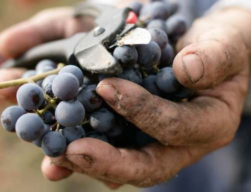 It's grape harvest time in Chianti!